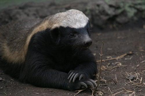 Honey badger vs lion testicles - photo#42