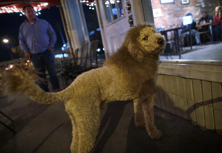 lion dog 1