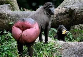 monkeyred