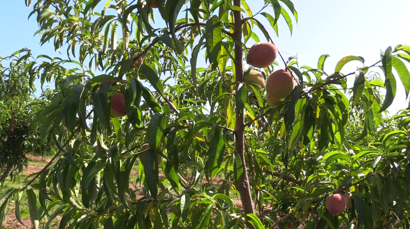 Peaches from Dickey Farms.