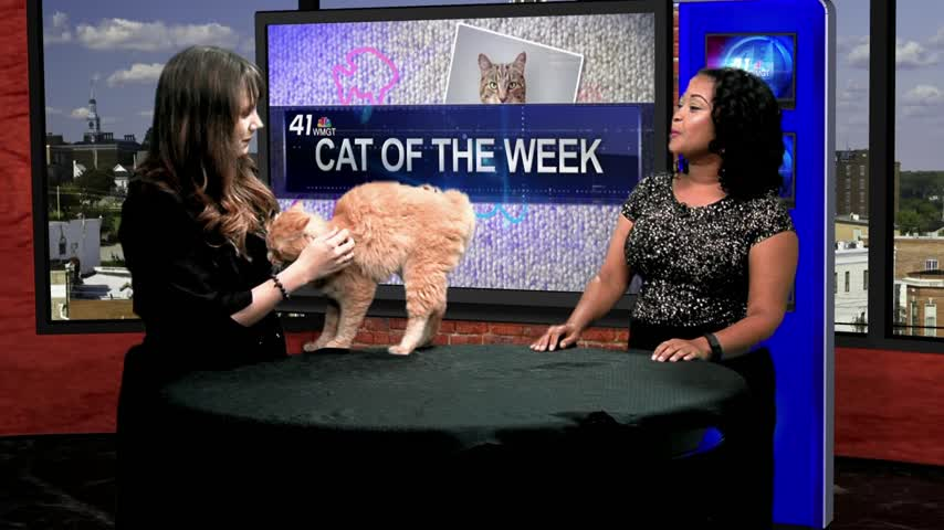 Kitty City Cat Rescue wants you to adopt Jackson! He's a loving cat ready for a home.