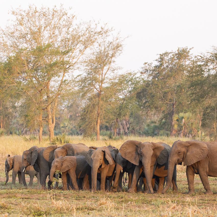Elephants Missing Tusks