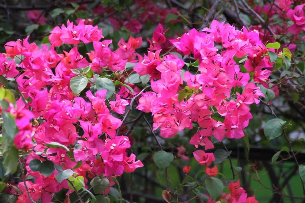 Trinitarias Flores Ciudad Colonial