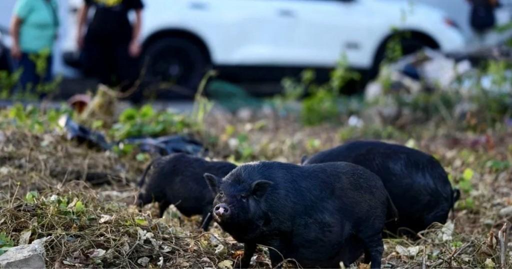 La Historia De Los Cerdos Salvajes Que Se Toman Las Calles De Puerto Rico
