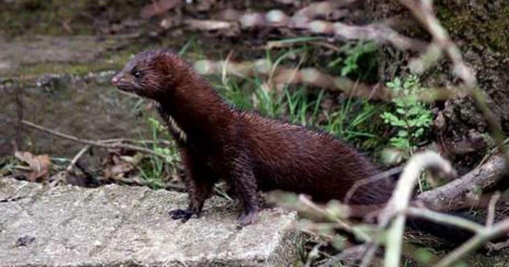Reportan Primer Caso De Covid 19 En Animal Silvestre