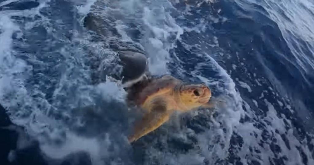 Viral Pescadores Rescataron A Una Tortuga Marina De Un Ataque De Tiburón Tigre
