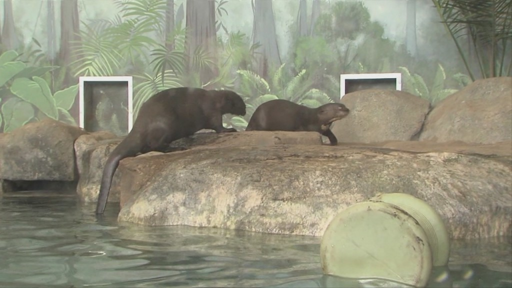 Visiting The Giant River Otters At Rwp Zoo