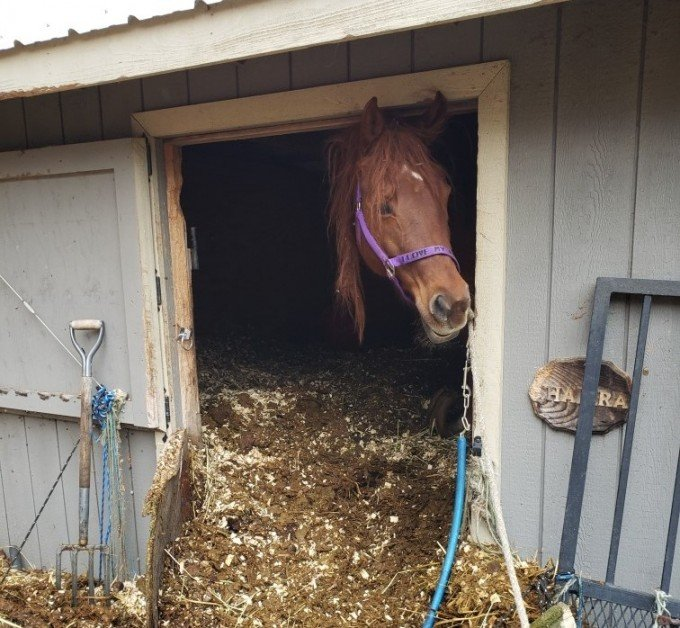 Abused Horse in Barn