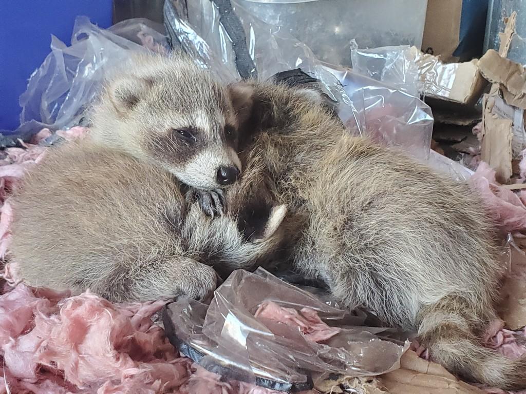 Baby Raccoons (4)