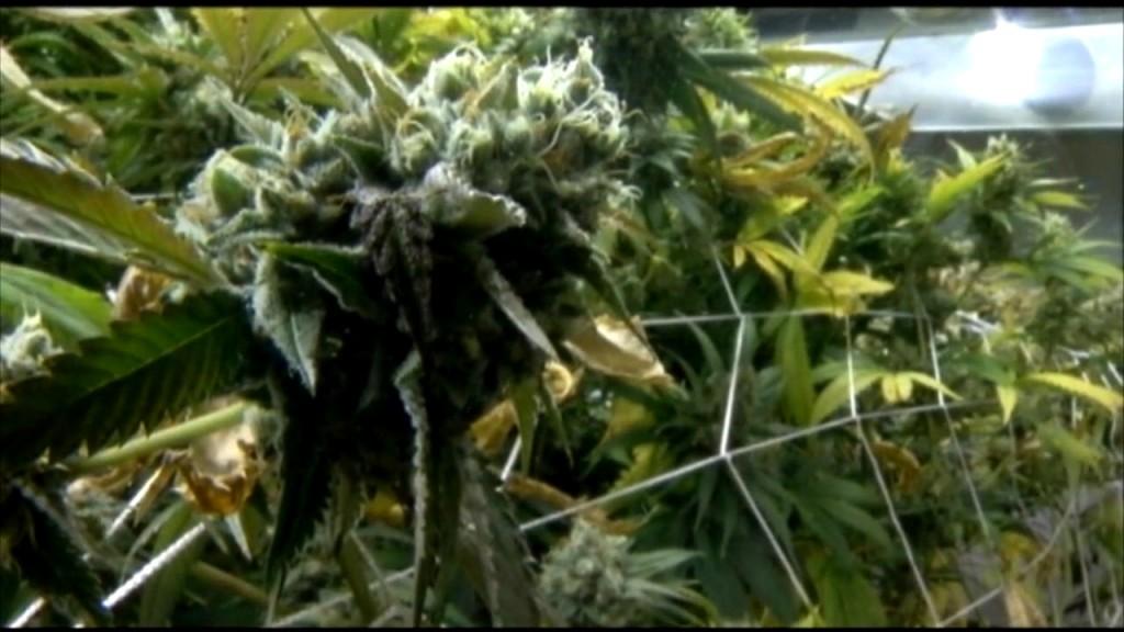 Cannabis Studies V.still001