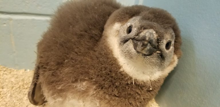 Penguin Chick49867 768x373