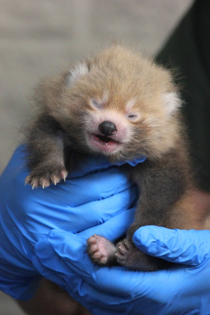 Bpzoo's Red Panda Cub At 21 Days Old During A Wellness Exam