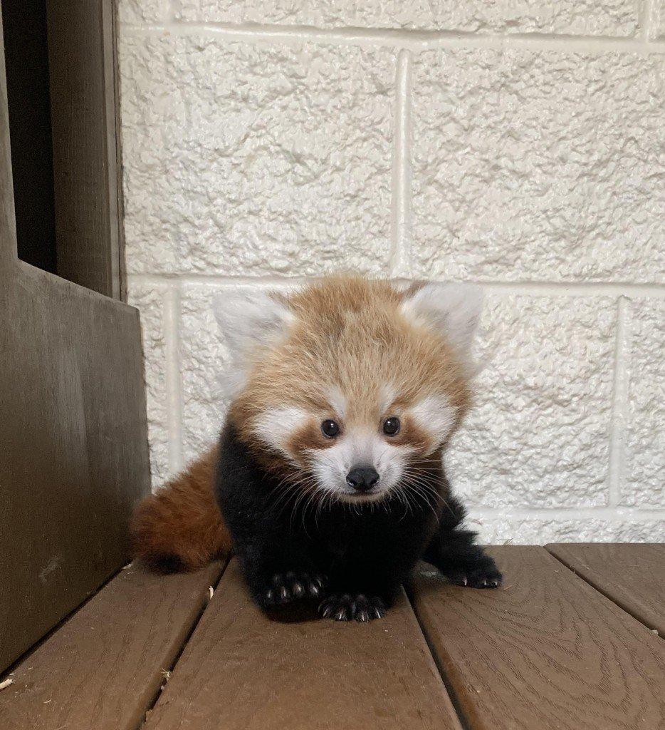 Bpzoo's Red Panda Cub Needs A Name!
