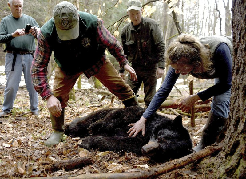 Nh Black Bear