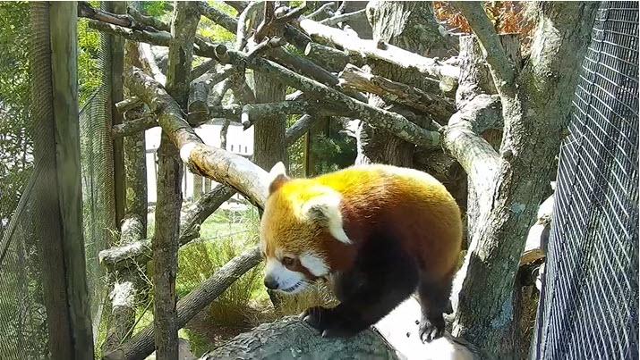 Panda Cam Live
