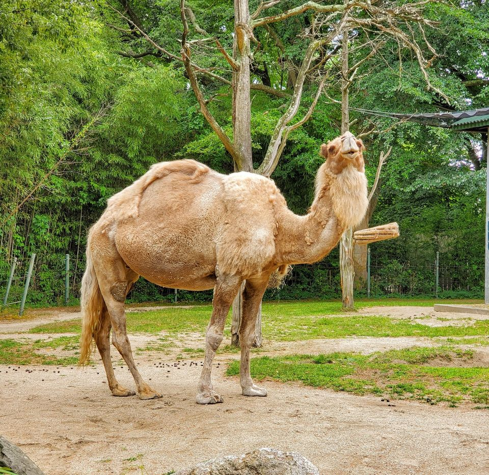 Sasha The Camel