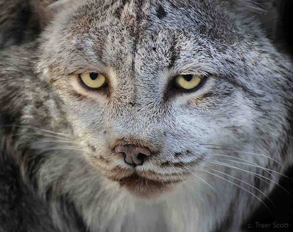Bpzoo Is Morning The Loss Of 20 Year Old Canada Lynx, Calgary. Picture Courtesy Of Traer Scott