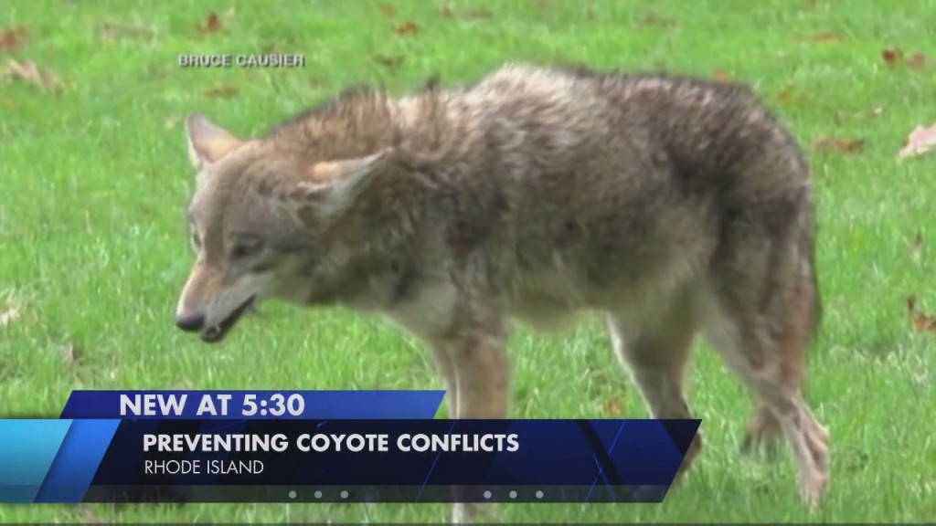 Dem: Take These Steps To Reduce Risk Of Coyote Confrontations