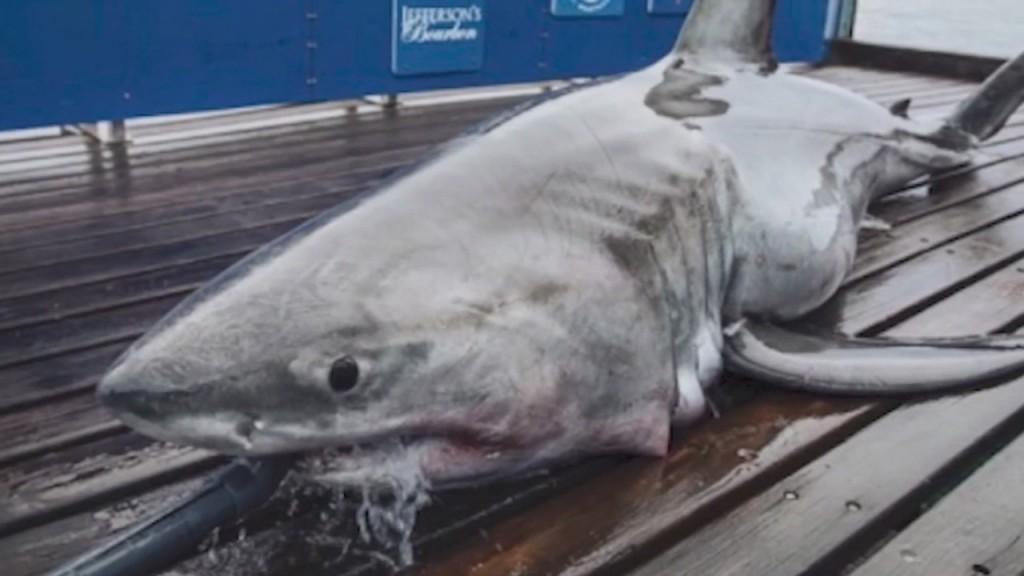Great White Shark Detected