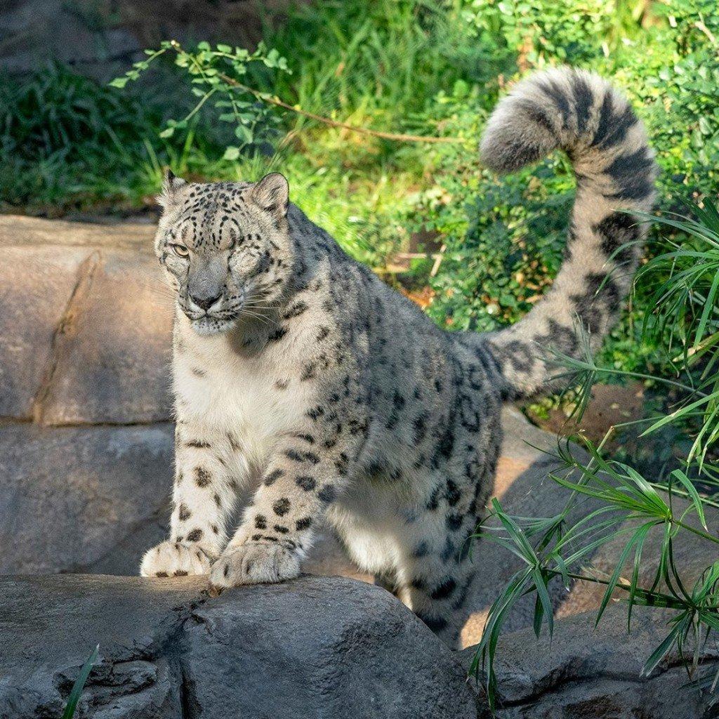 Sdz Snow Leopard
