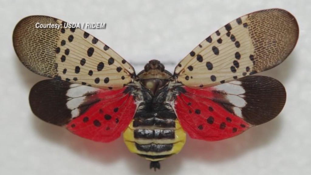 First Invasive Spotted Lanternfly Detected In Rhode Island