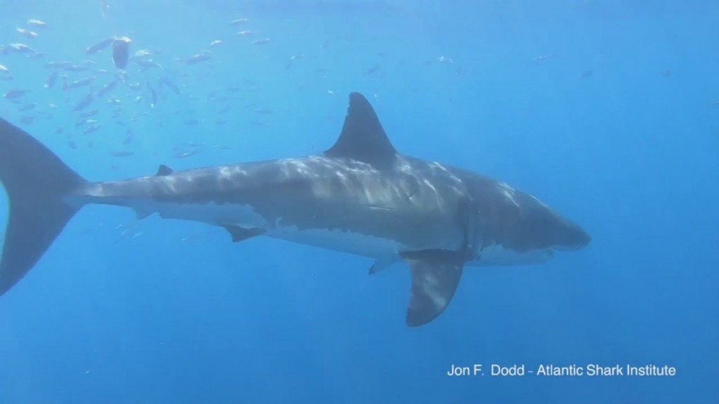 Atlantic Shark Institute Tags 8 Great White Sharks Off Sne Coast