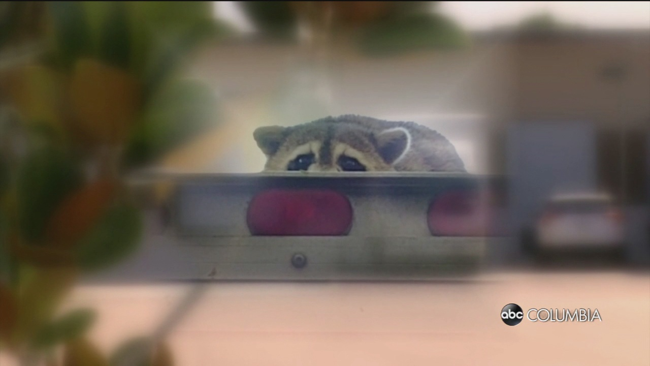 DHEC: Rabid raccoon found in Lexington County – ABC Columbia