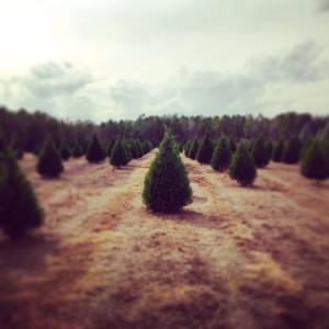 christmastrees33.jpg