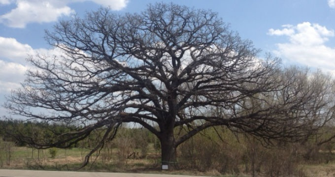 Bur oak residents tried to save cut down