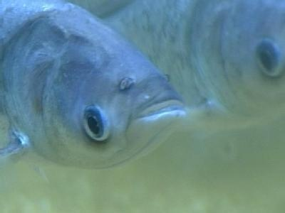 Legislation seeks interim steps to stop Asian carp