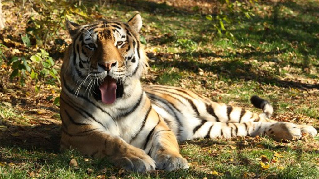 New tiger coming to the zoo in 2018