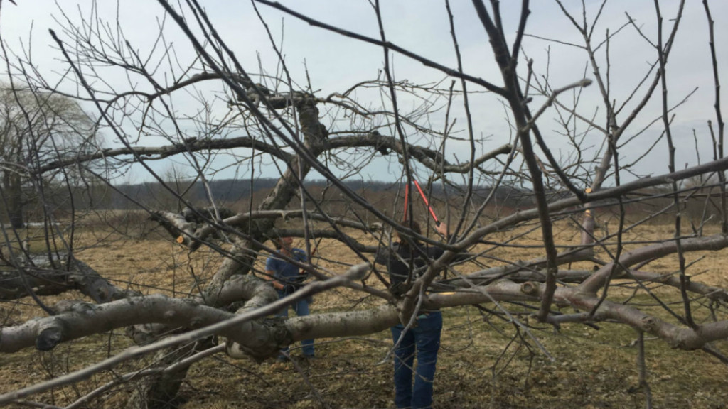 Warmer temperatures pose risk to apple farmers, plants