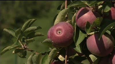 Weather at core of year's rotten apple harvest
