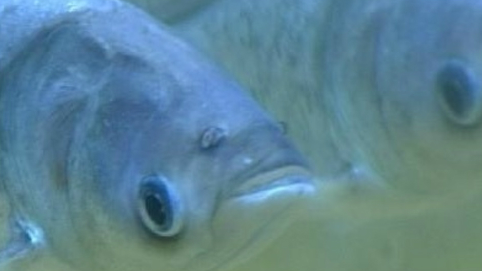 Cost of keeping Asian carp from Great Lakes nearly triples