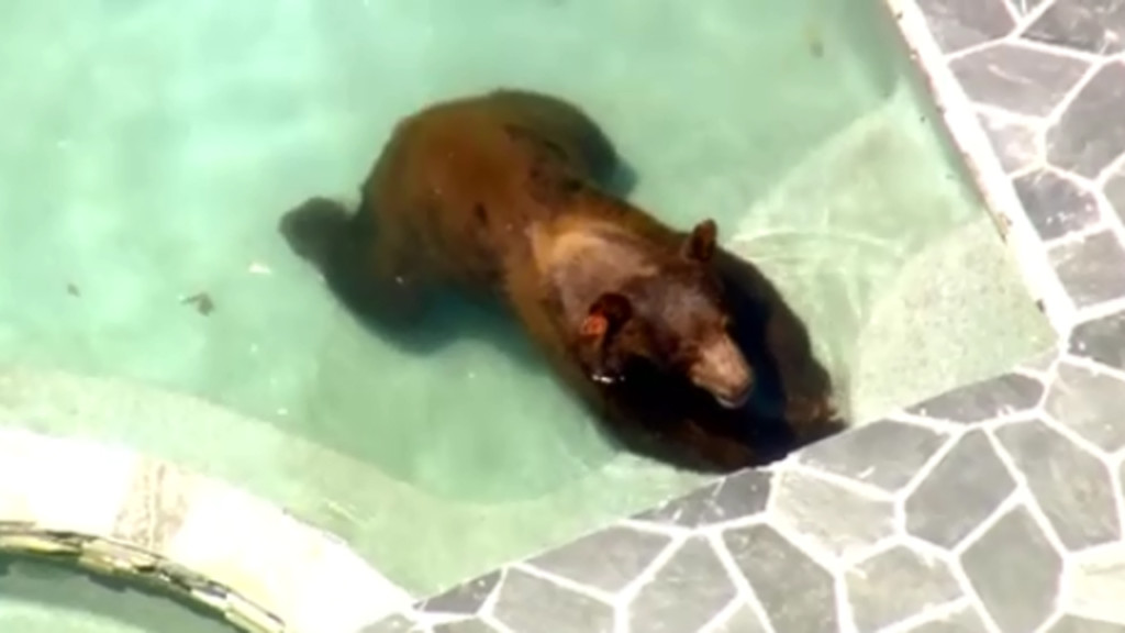 Bear tranquilized after taking dip in Los Angeles pool