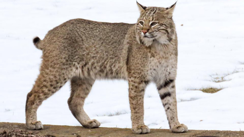 Bobcat photographed near Rio