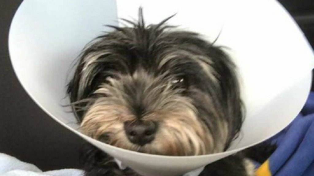 Dog recovering after eating nails wrapped in hot dogs; Police look for person who left them