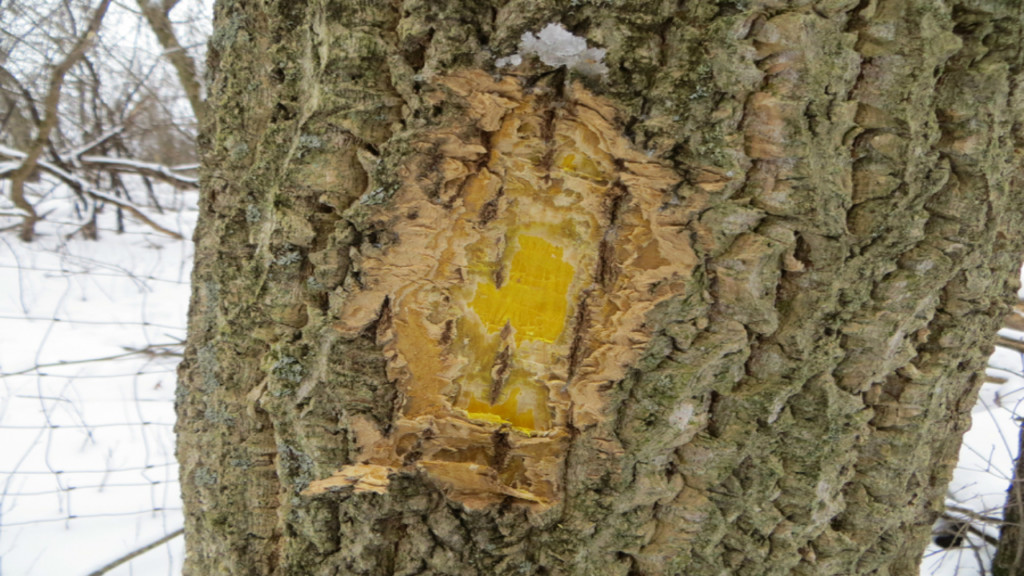DNR warns of invasive tree found in 12 Wisconsin counties