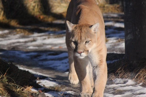 Cougar sighted in Buffalo County