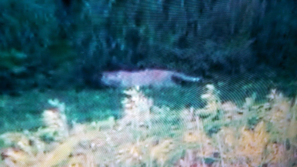 VIDEO: Large cat spotted on Janesville's south side