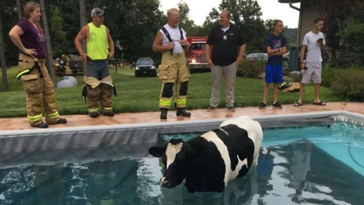 Wisconsin firefighters called to rescue cow from pool