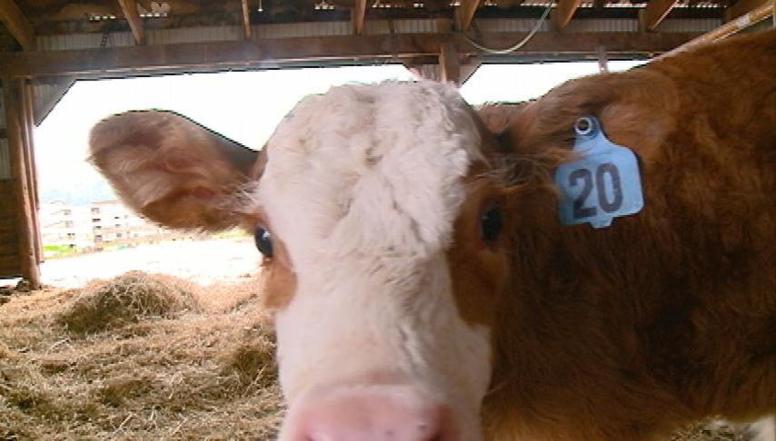 Nurses bring Curly Fry the calf to patient
