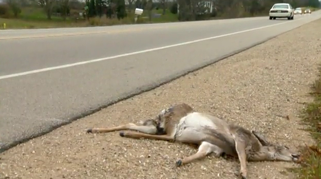 Urban deer vs. car crashes on the rise
