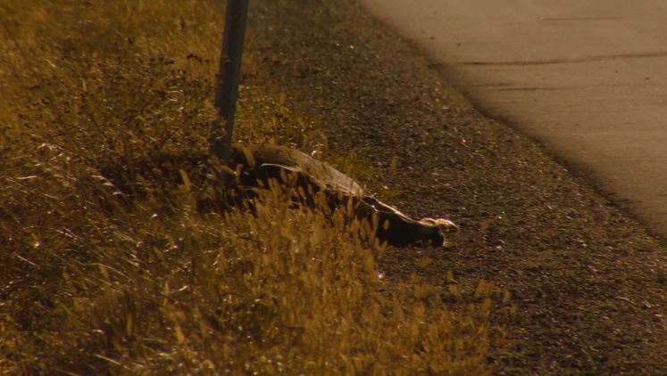 More roadkill on the road? Officials are adjusting to new system