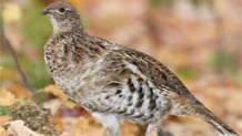 DNR board to consider rule closing grouse season early