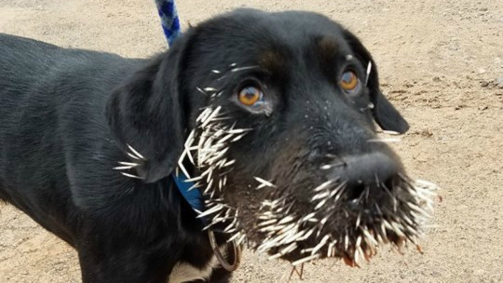 Humane society hopes to find owners of dog found with porcupine quills in face