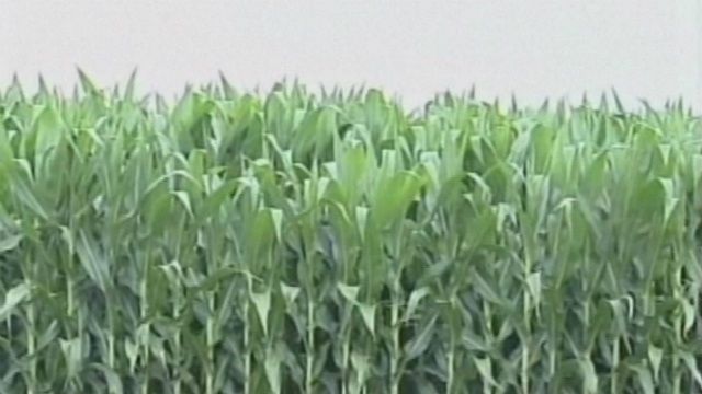 Farmers to plant less corn but more soybeans