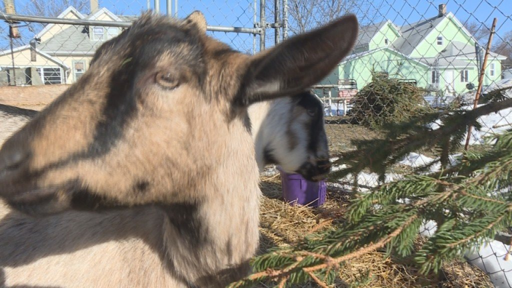 Christmas tree eating goats are a fun alternative to the trash