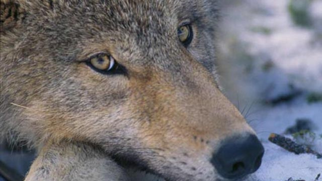 DNR to offer wolf tracking workshop