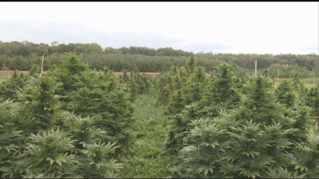 Farmers harvest hemp, trying to beat the frost after a wet growing season